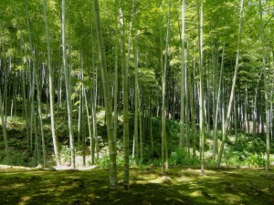Bamboo Forest kyoto_japan_bamboo