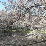 sakura_and_pond