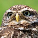 owl_bird_animal