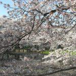 sakura_and_pond-1024×768
